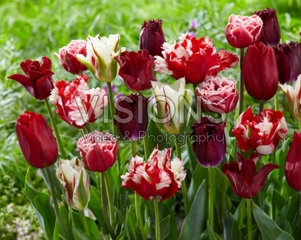 Tulipa mix red and white