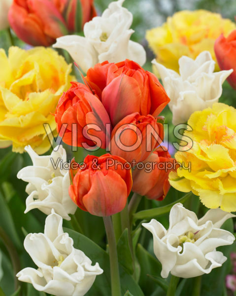 Tulipa Queensday