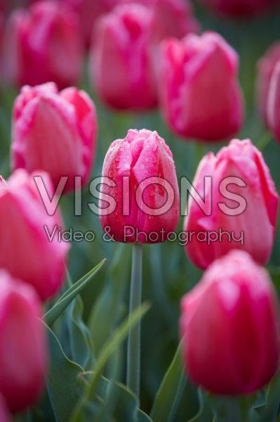 Tulipa In Love