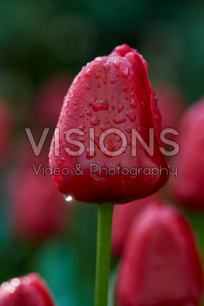 Tulipa Unique de France