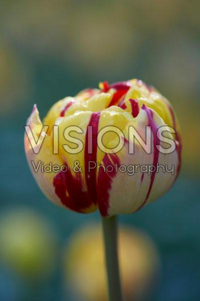 Tulipa Golden Nizza