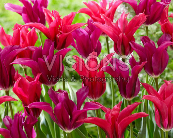 Tulipa Purple Doll, Doll's Minuet