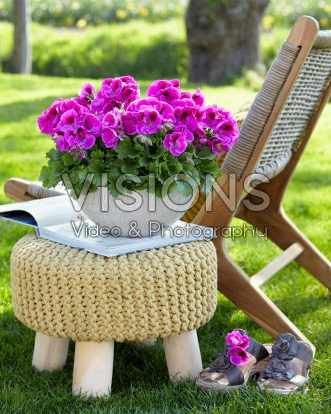 Pelargonium grandiflorum Elegance Nicolette