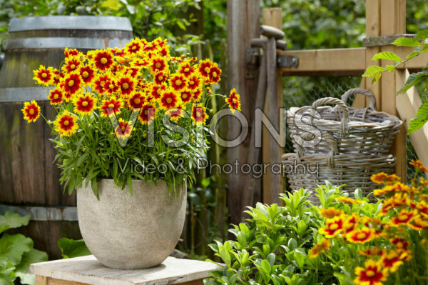 Coreopsis Bronze and Yellow