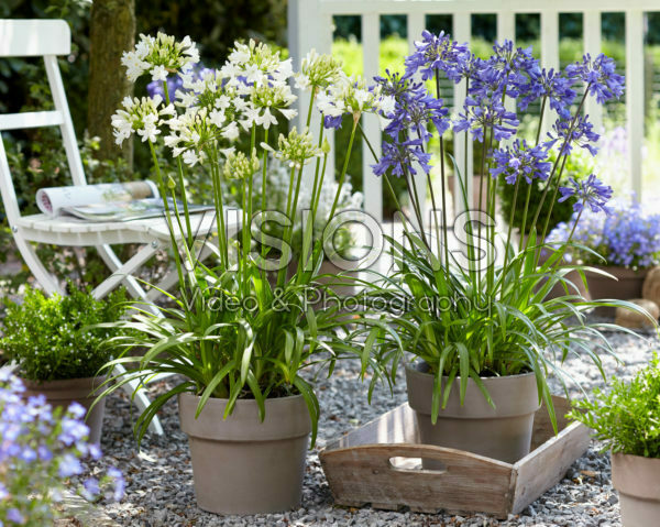Agapanthus Ever Sapphire, Ever White