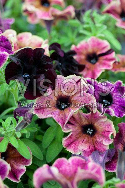 Petunia Happy Magic Giant Velvet Wash