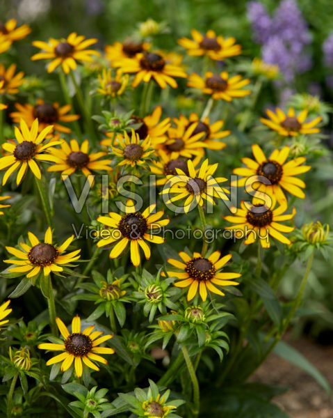Rudbeckia fulgida Little Goldstar