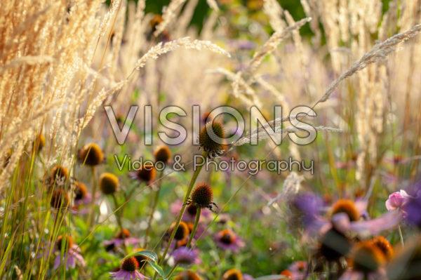 Echinacea seedheads