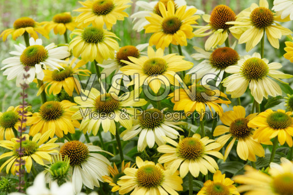 Echinacea Mellow Yellows