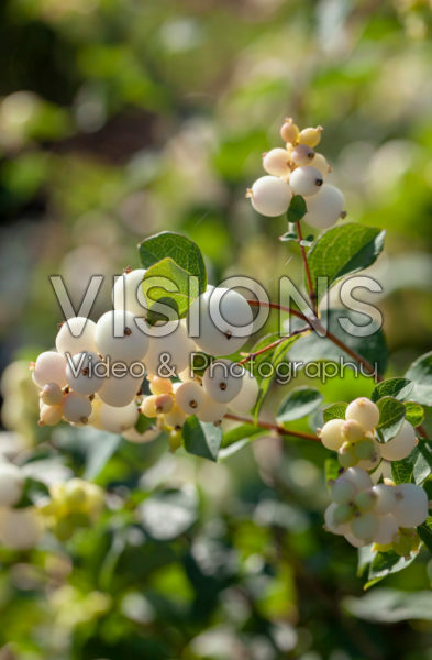 Symphoricarpos Magical Galaxy