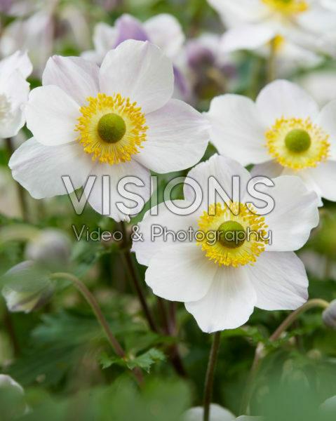 Anemone x hybrida Elfin Swan