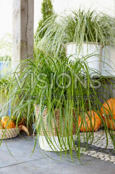 Carex oshimensis Everlime