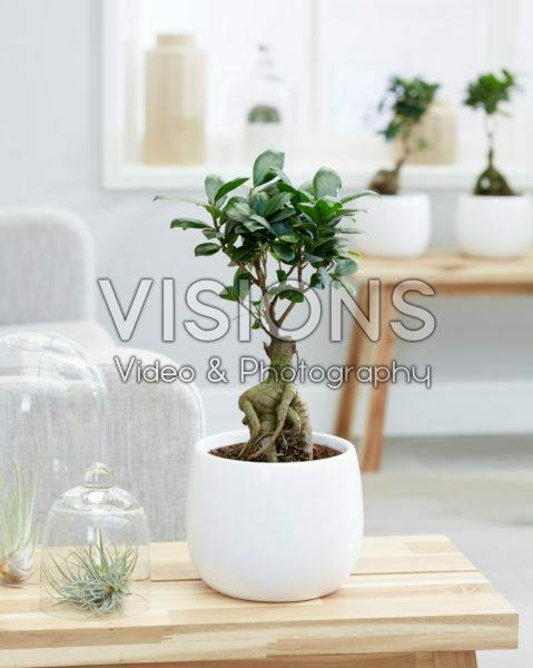 Ficus microcarpa Ginseng bonsai