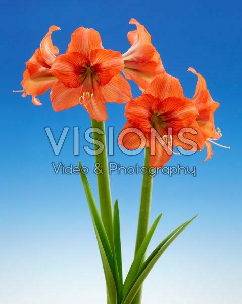 Hippeastrum Orange Queen