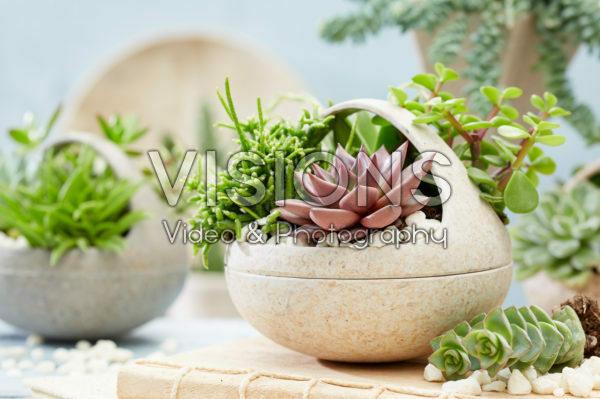 Vetplanten combinatie