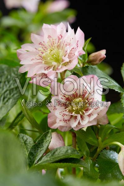 Helleborus orientalis Double Ellen® Pink