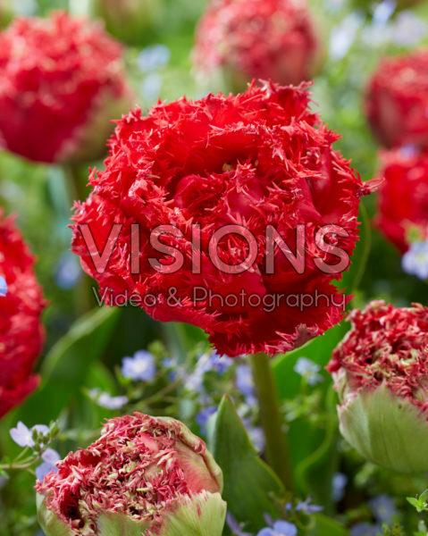 Tulipa Qatar