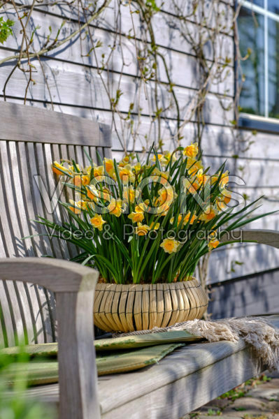 Daffodils on pot