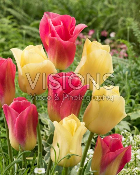 Tulipa Tom Pouce, World Friendship