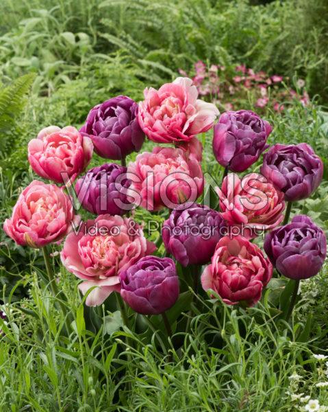 Tulipa Blue Diamond, Libretto Double