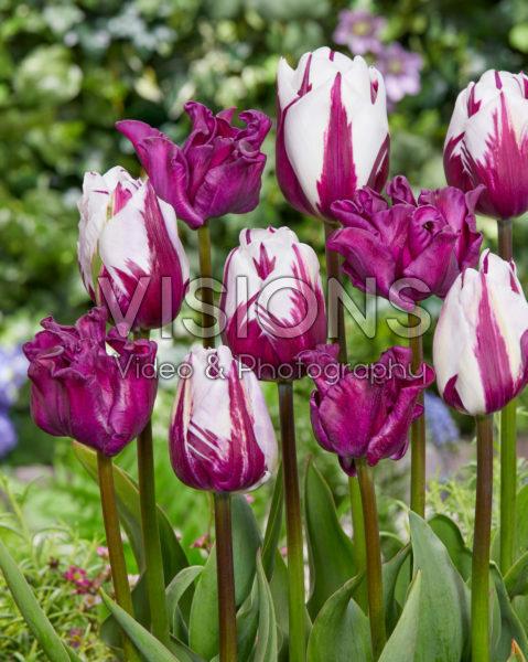 Tulipa Rems Favourite, Crown of Negrita