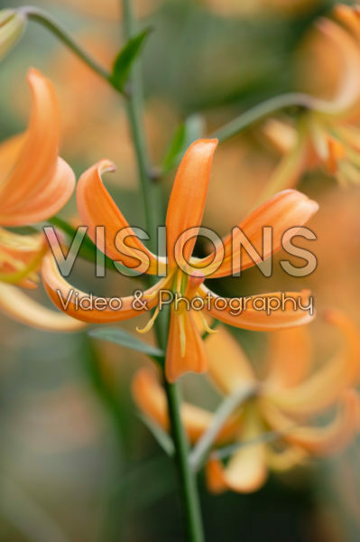Lilium Orange Marmalade