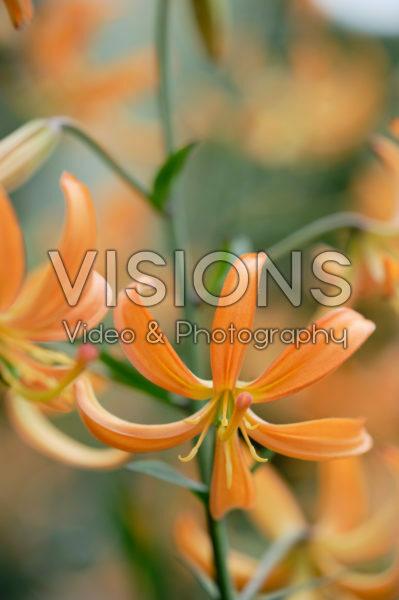 Lilium Orange Marmalade