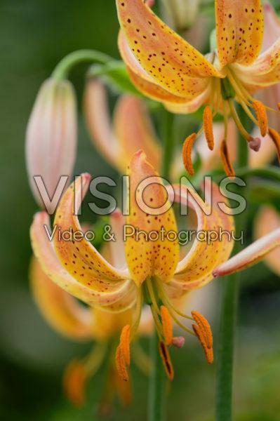 Lilium Peppard Gold