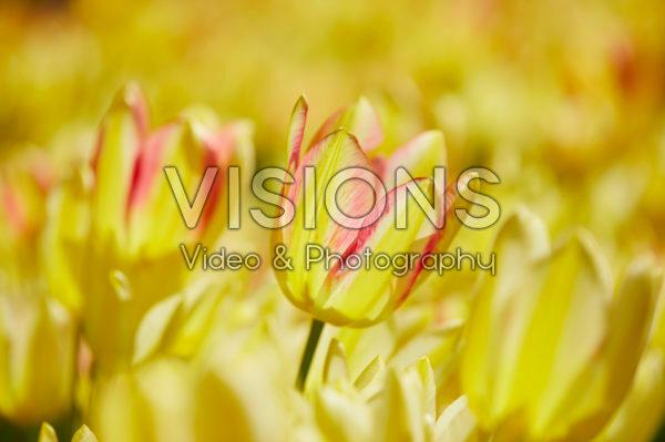 Tulipa meerbloemig