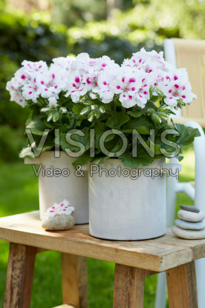 Pelargonium Elegance Royalty White *