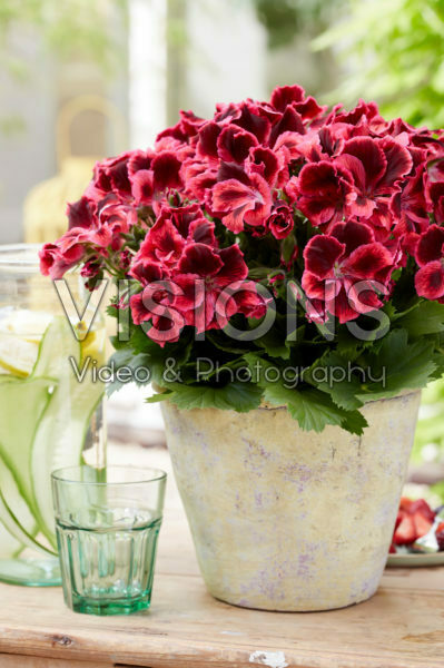 Pelargonium Elegance Kate *