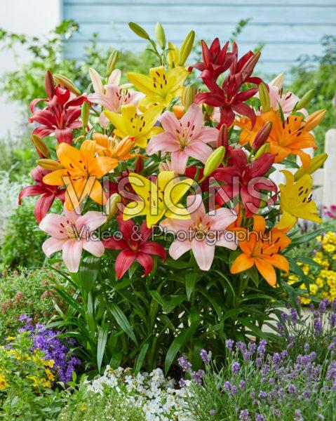 Lilium Asiatic mixed