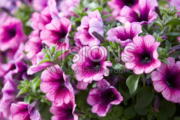 Petunia Viva ® Purple Vein