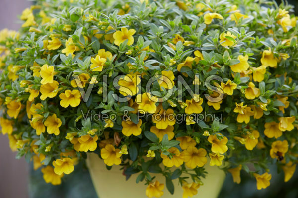 Calibrachoa Cabaret Pure Yellow