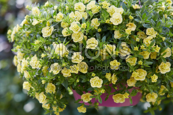 Calibrachoa Can-Can® Rosies Light Yellow