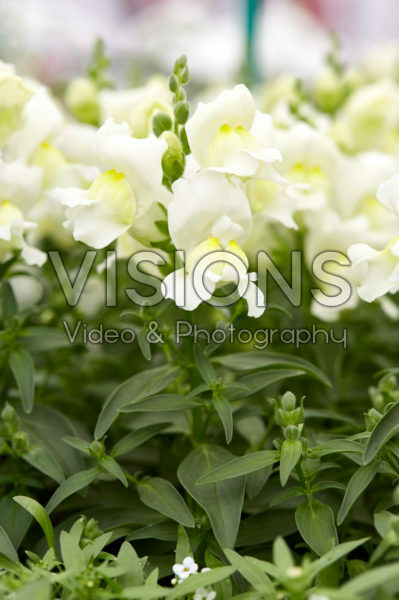 Antirrhinum majus Snapshot White