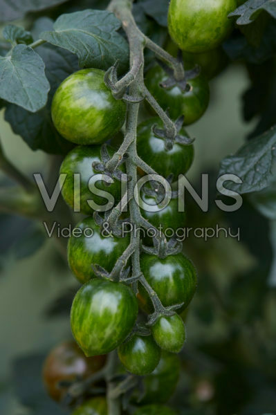 Solanum lycopersicum Chocolate Sprinkles