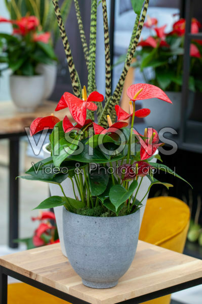 Anthurium Red Bull