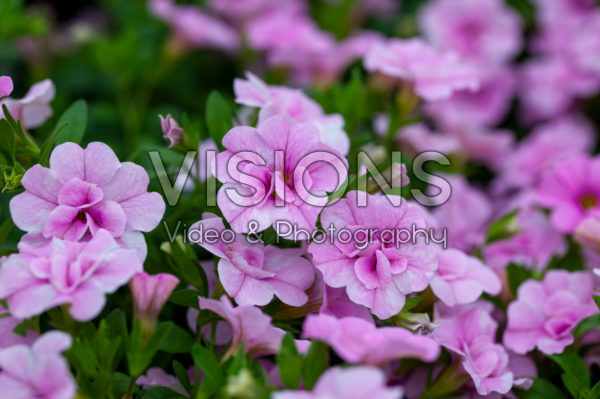 Calibrachoa Double Soft Pink