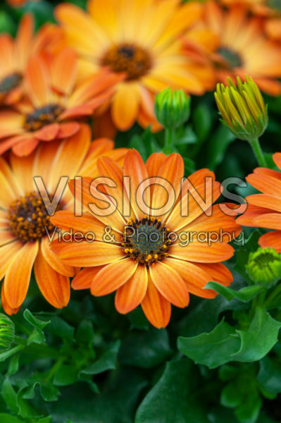Osteospermum Margarita Orange Flare