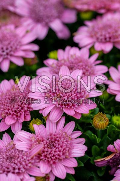 Osteospermum Margarita Double Pink