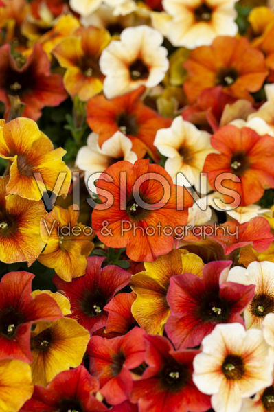 Petunia BeautyCal mixed