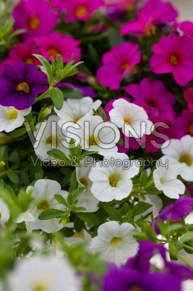 Petunia MultiColours