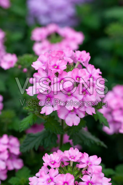 Verbena Vanessa Compact Pink