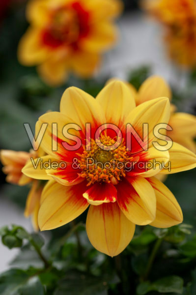 Dahlia Labella® Medio Fun Golden Eye
