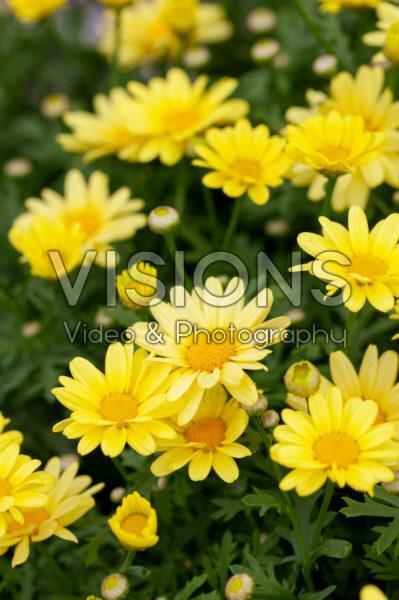 Argyranthemum schoonheid geel