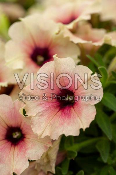 Petunia Crazytunia Rose Gold
