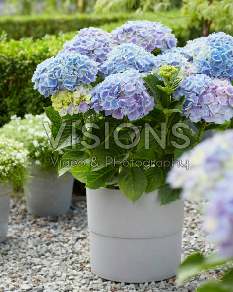 Hydrangea Multi-Double by Magical® Pump Up The Blue