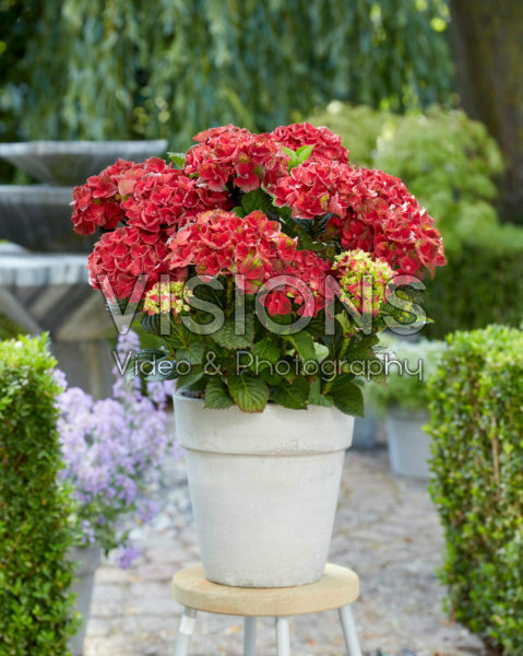 Hydrangea Multi-Double by Magical® Red Red Wine