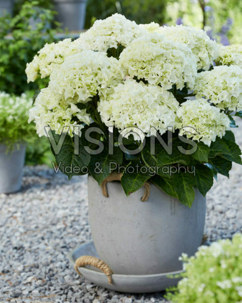Hydrangea Multi-Double by Magical® Saturday White Fever